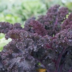 Chou Kale Frisé rouge Scarlet