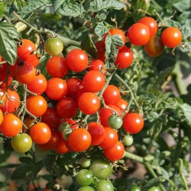 Tomate Cerise Sweetbaby F1