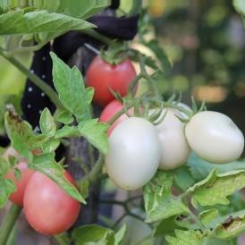Tomate Cerise Pink Thaï Egg
