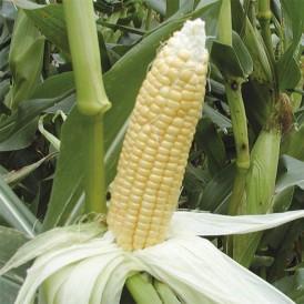 Maïs doux Golden Bantam