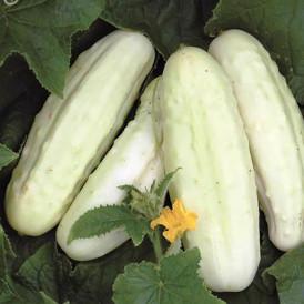 Concombre blanc White wonder