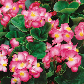 Begonia Lucenec F1