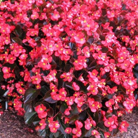 Begonia Oreb F1