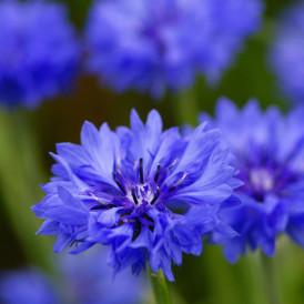 Centaurée bleuet double en...