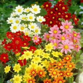 Dahlia à fleur simple...