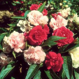 Impatiens Balsamine à fleur...
