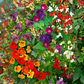Mélange de fleurs annuelles...