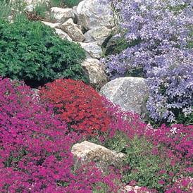 Fleurs de rocailles en mélange