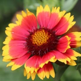 Gaillarde Aristée Multicolore