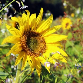Tournesol nain Sunspot