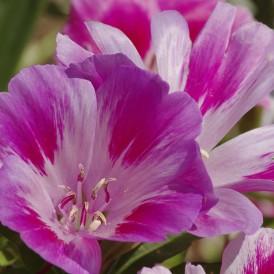 Godetia Fleur de satin...