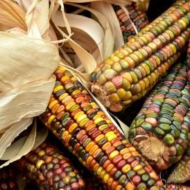 Maïs ornemental multicolore