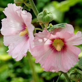 Rose trémière à fleurs...