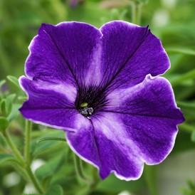 Petunia nain Bleu