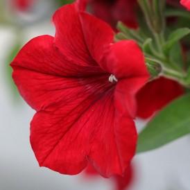Petunia nain Rouge