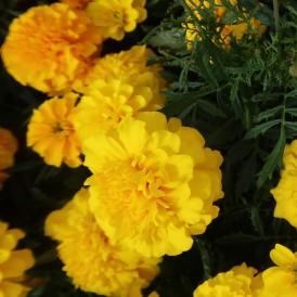 Rose d'Inde géante multicolore