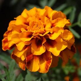 Oeillet d'Inde nain orange