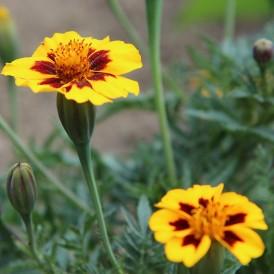 Oeillet d'Inde à fleur...