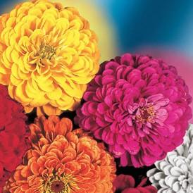 Zinnia à fleur de dahlia