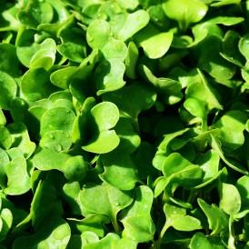 Salade Roquette Rucola Bio