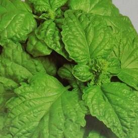 Basilic à feuilles de Laitue