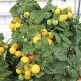 Tomate Balconi yellow F1