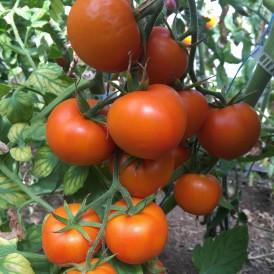 Tomate Zlatava